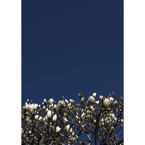 Midnight Blue Magnolia