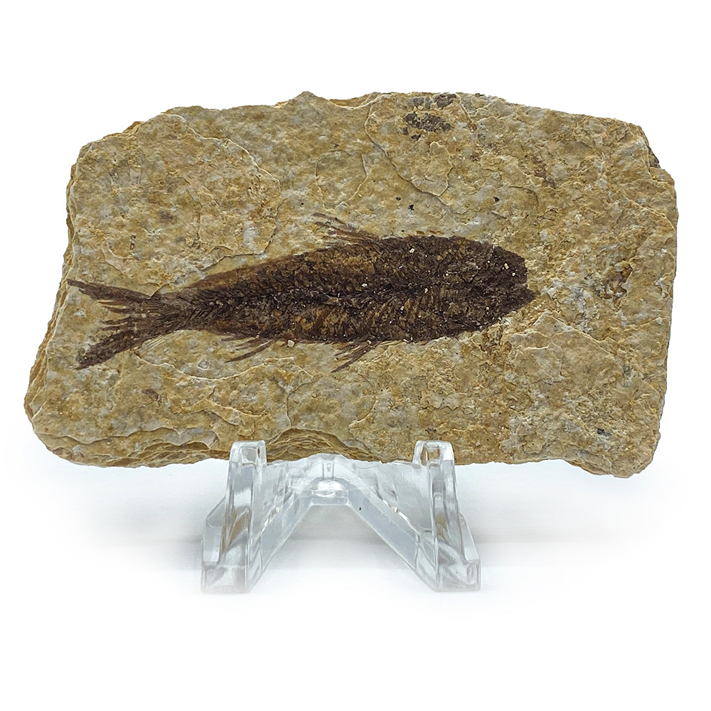 Wyoming Fossil Fish