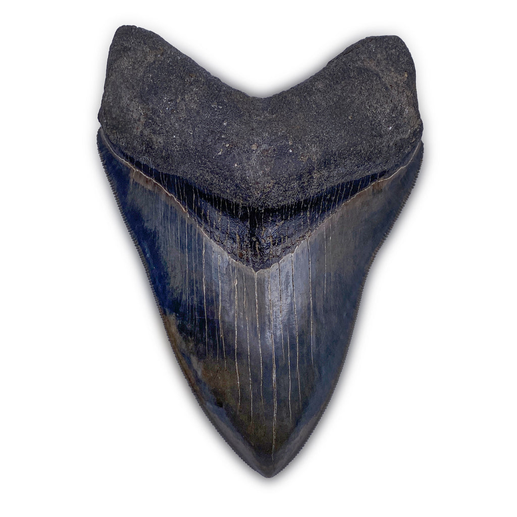 "Megalodon Tooth - 4.8"" - ""THE BEAST"""