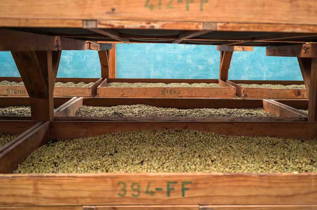 Drying Coffee at Santa Clara