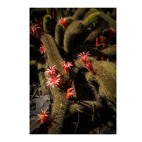 Cactus Fine Art Photographic Print