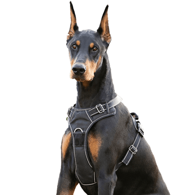 Dog Harness on Doberman