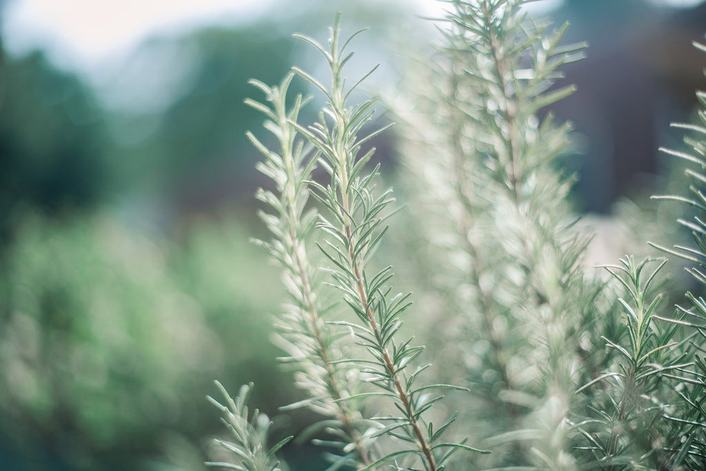 3 Ways to Enjoy the Health Benefits of Rosemary