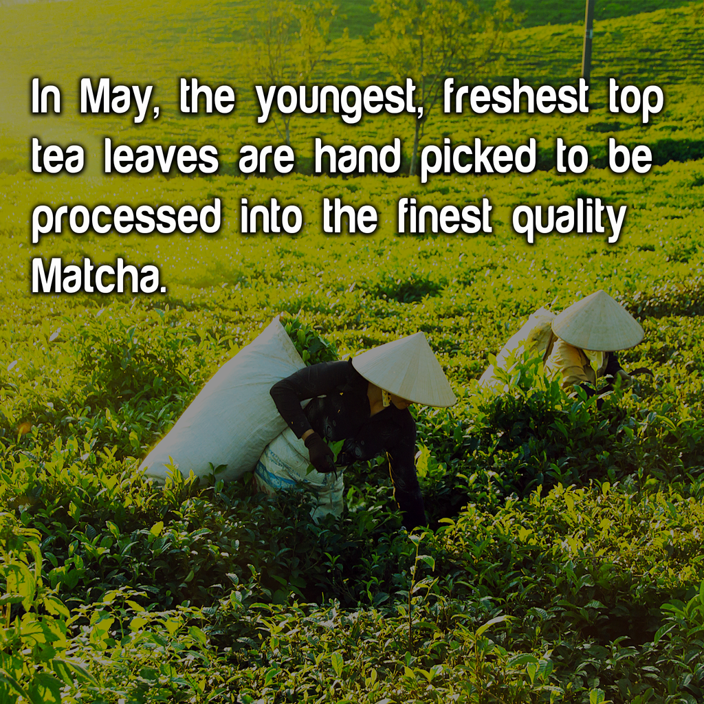 matcha-green-tea-pickers