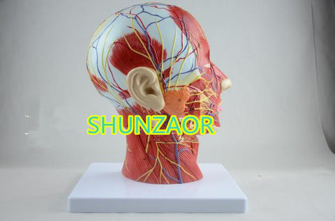 SHUNZAOR Human skull with muscle and nerve blood vessel, head section brain, human anatomy model. School medical teaching