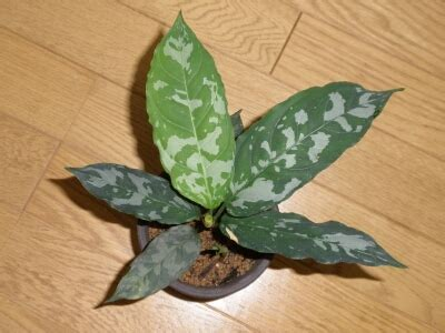Aglaonema sp 'Minima'