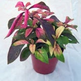 Alternanthera ficoidea 'Bettzickiana Red'