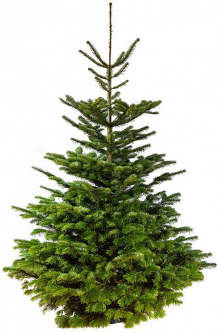 Nordmann Fir real Christmas Tree Size: 150cm - 175cm (5ft - 5ft 9'')
