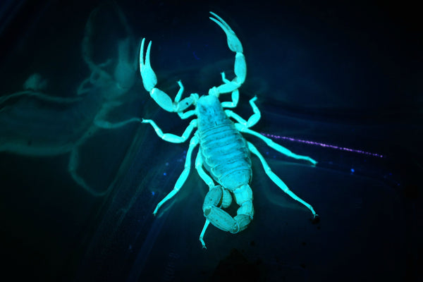 Glowing Scorpion