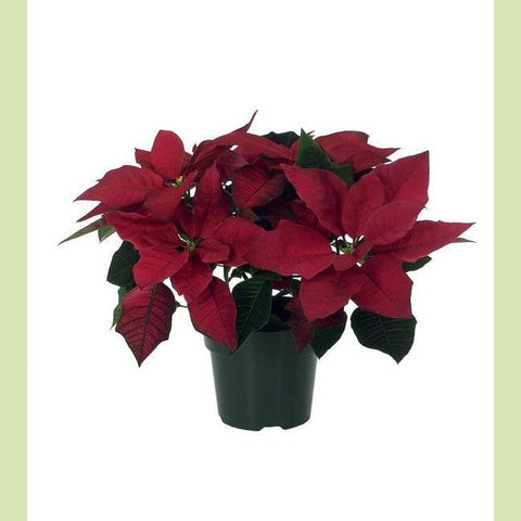 Poinsettia Burgundy 4.5 in - NE Flower Boutique