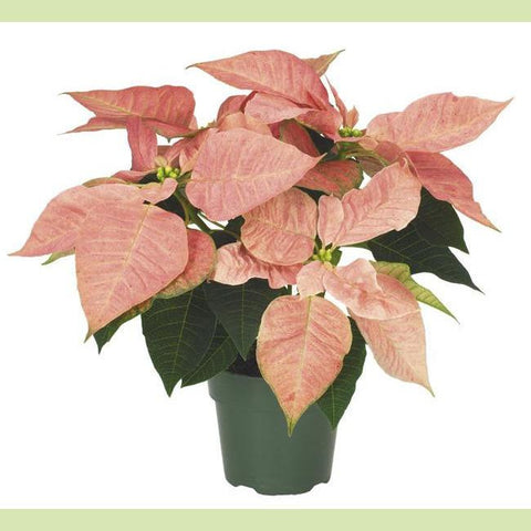 Poinsettia Peach 4.5 in - NE Flower Boutique