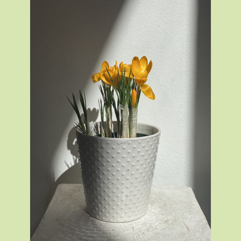Potted Crocus