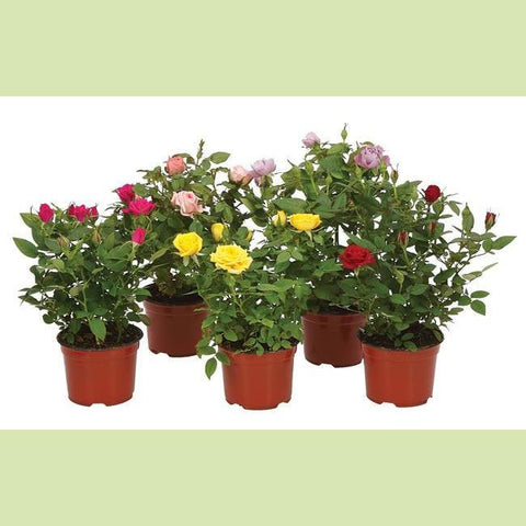 Potted Spray Roses - NE Flower Boutique