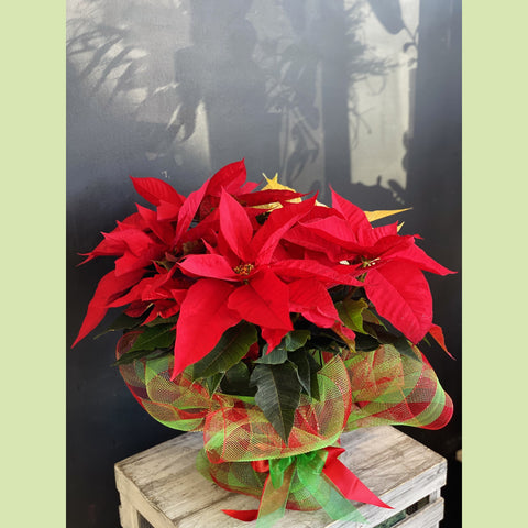 "Red Poinsettia 7.5"" - NE Flower Boutique"