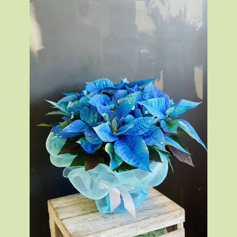 Blue Poinsettia - NE Flower Boutique