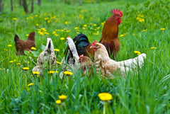 Elite pastured poultry