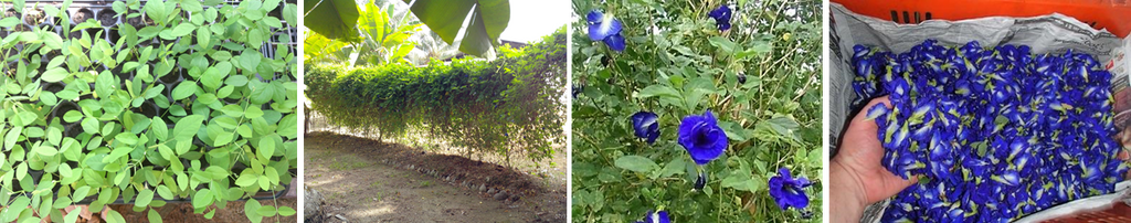 butterfly pea flower farms