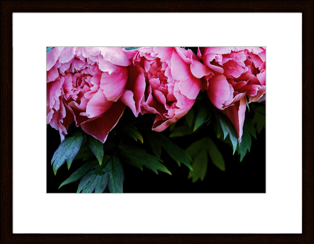 LT (129) - THREE PINK PEONIES  3/50 - framed