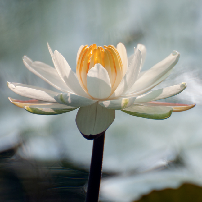 LT (193) - WATERLILY 1/25