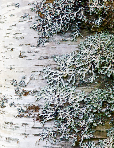 Mary Pratte - Lichen This Birch