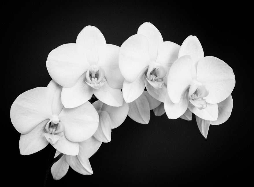 Mary Pratte - Orchid Arc, Black and White