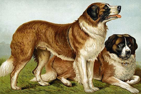 Rough Coated St. Bernards