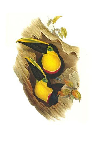Black-Mandibled or Yellow throated Toucan