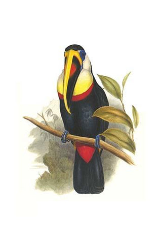 Inca or white throated Toucan
