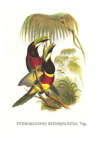 Red Necked or Double Collared Aracari