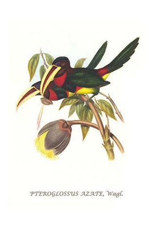 Ivory Billed Aracari