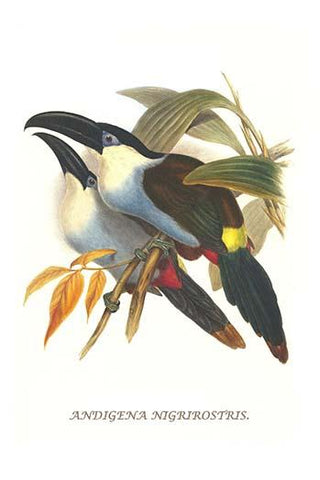Blsck Billed Mountain Toucan
