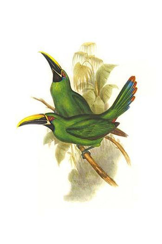 Black Throated Toucanet