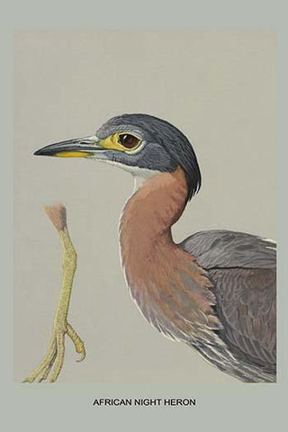 African Night Heron