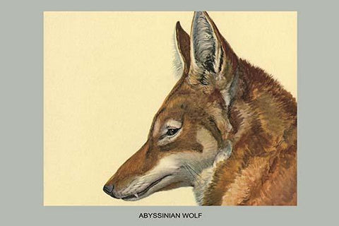 Abyssinian Wolf