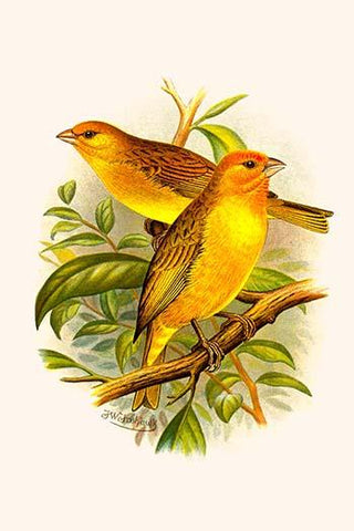 Safron Finch or Brazilian Bunting or Brazilian Canary