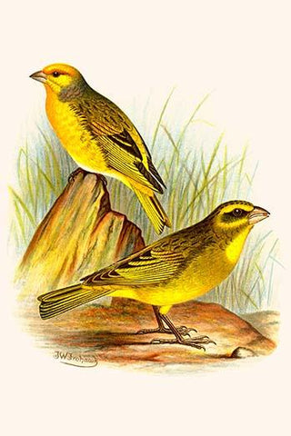 Cape Canary & Sulpher-colored seed eater