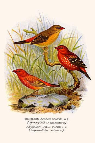 Common Amaduvade & African Fire Finch
