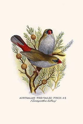 Australian Fire Tailed Finch