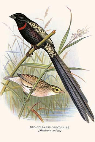 Red Collared Whydah
