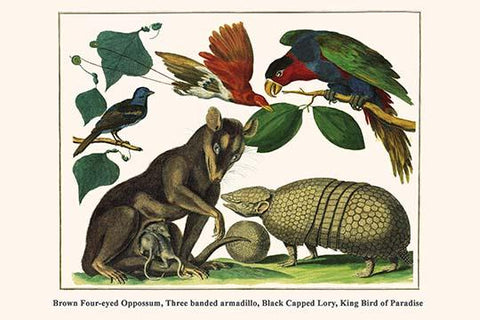 Brown Four-eyed Oppossum, Three banded armadillo, Black Capped Lory, King Bird of Paradise
