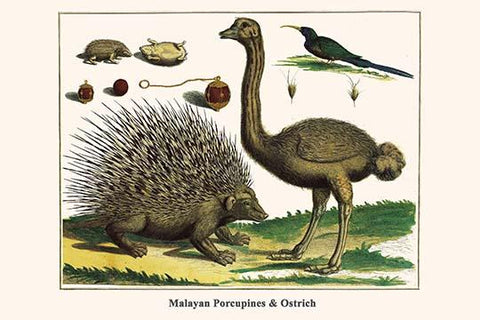 Malayan Porcupines & Ostrich