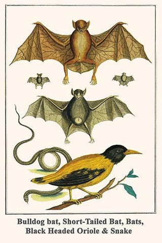 Bulldog bat, Short-Tailed Bat, Bats, Black Headed Oriole & Snake