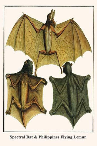 Spectral Bat & Philippines Flying Lemur