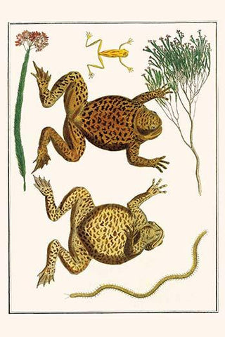 Giant Toad, Tree Frog & Centipede