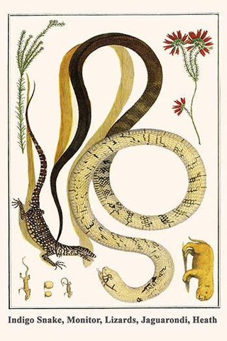 Indigo Snake, Monitor, Lizards, Jaguarondi, Heath