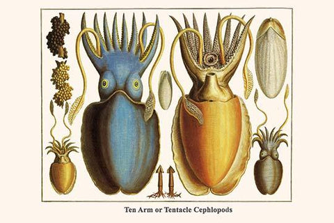 Ten Arm or Tentacle Cephlopods
