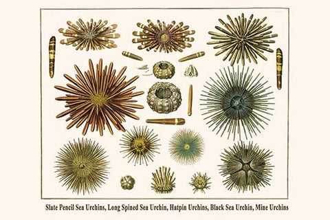Slate Pencil Sea Urchins, Long Spined Sea Urchin, Hatpin Urchins, Black Sea Urchin, Mine Urchins