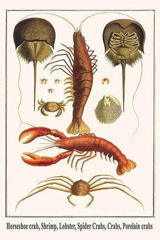 Horseshoe crab, Shrimp, Lobster, Spider Crabs, Crabs, Porelain crabs