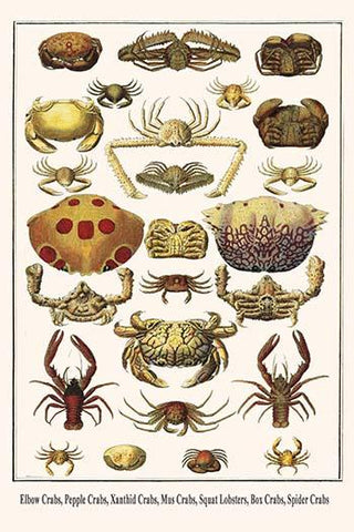 Elbow Crabs, Pepple Crabs, Xanthid Crabs, Mus Crabs, Squat Lobsters, Box Crabs, Spider Crabs
