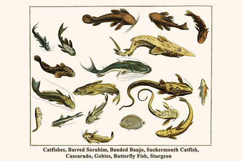 Catfishes, Barred Sorubim, Banded Banjo, Suckermouth Catfish, Cascarudo, Gobies, Butterfly Fish, Sturgeon